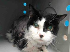 TO BE DESTROYED 11/21/13 Brooklyn Center  My name is MIA. My Animal ID # is A0985123. I am a female black and white domestic sh mix. The shelter thinks I am about 10 YEARS old. quiet cat I think that with time and socialization she should be just fine. https://www.facebook.com/photo.php?fbid=701346156543886&set=a.576546742357162.1073741827.155925874419253&type=3&theater