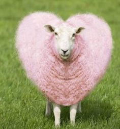 An poster sized print, approx (other products available) - - Ewe - pink heart shaped wool<br>Geoff du Feu<br> - Image supplied by Ardea Wildlife Pets Environment - poster sized print mm) made in Australia Sheep Farm, Sheep And Lamb, Farm Animals, Funny Animals, Cute Animals, Pink Animals, Vegan Animals, Foto Picture, Funny Sheep