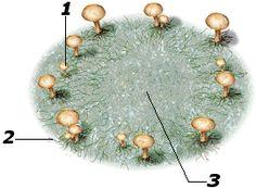 Heksenkring,Als schimmelsporen op grasgrond terechtkomen, groeien ze uit tot een netwerk van draden die in alle richteingen uitwaaieren. Ze onttrekken langzaam maar zeker al het voedsel uit grond om hen heen. De draden in het midden van het netwerk sterven af, maar de draden vlakbij de grond aan de buitenrand groeien door. Daardoor wordt het netwerk kringvormig. Als er paddestoelen uit komen, is boven de grond een 'heksenkring' te zien.