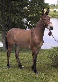 Skippa Scooter~ Great looking mule,with amazing conformation!