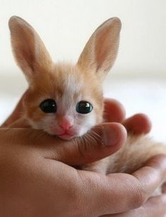 this is a baby Fennec Fox.    it looks like a cross between a bunny and a cat.