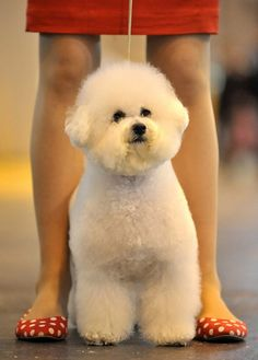 An adorable Bichon Frise from Crufts 2011.