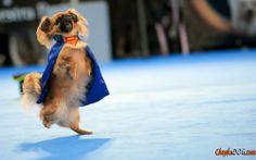 Fotos Pekingese Hunde tanzen