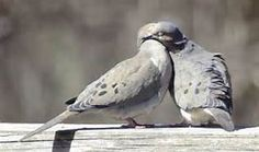 mourning doves mate for life -