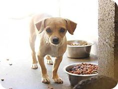 Mesa, AZ - Dachshund/Chihuahua Mix. Meet A3745093, a dog for adoption. http://www.adoptapet.com/pet/15234997-mesa-arizona-dachshund-mix