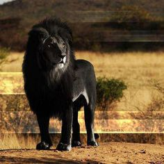 Very rare black lion !!! Beautiful indeed!