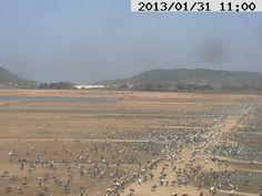 2013年1月31日 第一陣の北帰行が始まった出水の鶴 その1 午前11時