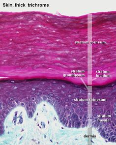 5 Layers of the Epidermis: 1 stratum corneum. 2 stratum lucidum. 3 stratum granulosum. 4 stratum spinosum. 5 stratum basale - Integumentary System