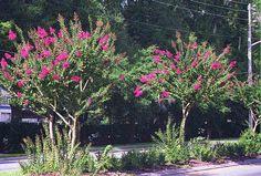 I love crepe myrtle trees!  Google Image Result for http://www.crapemyrtlefarms.com/ok72.jpg