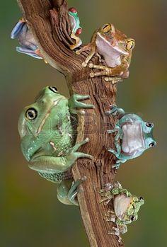 Muchas variedades de ranas arborícolas están sentados juntos en un brach. De abajo a la izquierda a la inferior derecha - ceroso rana de árbol mono, con los ojos rojos rana de árbol grande-eyed tree frog, frog blancos árbol, rana de árbol gris