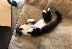 This adorable black-and-white kitty is the boss of 23 dogs, just don't tell him he's not a dog himself! DOG (pronounced 'dee-OH-gee') can blame fate and a kind animal lover named Nadine Wenig, Director of Canine Services at Support Dogs, Inc., in St. Louis, Missouri, for his new Fido-filled life. The friendly feline was a
