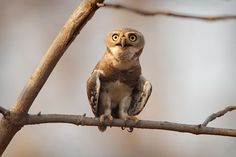 "Forest Owlet    Photograph courtesy Jayesh K. Joshi via The World's Rarest Birds    A picture of central India's forest owlet earned fourth place in the ""critically endangered or extinct in the wild"" category.    The species lives in a severely fragmented forest habitat that continues to be destroyed, according to the nonprofit BirdLife International."