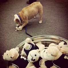 Bulldog on Bulldog crime. Butler Blue II.