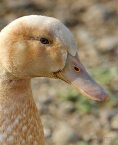 buff duck | Buff Duck 5 by canonshot54 on deviantART