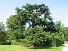 De ceder staat voor onsterfelijkheid en duurzaamdheid