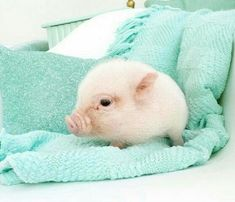 SO FREAKIN CUTE, I'VE BEEN WANTING G A PIG FOR A GOOD WHILE NOW. EVERYONE SHOULD WANT A PIG. VERY GOOD PETS TO HAVE IF YOU TEACH THEM WELL.《~~~☆☆☆~~~》