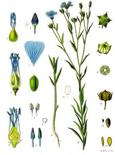 The flax plant. Isn't the blue colour of the flax flowers beautiful? This time I'll talk about linen which is a wonderful fabric to wear on warm summer days, but it can. Vintage Prints, Vintage Botanical Prints, Botanical Drawings, Botanical Art, Illustration Botanique Vintage, Botanical Illustration, Impressions Botaniques, Flax Flowers, Flax Fiber
