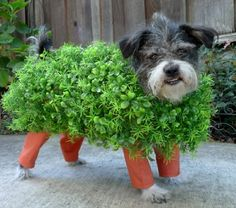 Ch-Ch-Ch-Chia! doggy costume- I;m so doing this next halloween!