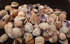 CRAFT shells 50  Venus clams Wedding SEASHELL SAILORS VALENTINES beach Craft LOT