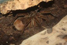The Goliath Bird Eating Spider is a rainforest dweller that uses its silk as a kind of trip wire. Set up in front of the spider's burrow, when the web line vibrates, it's time for supper. With a leg span of up to 12 inches these Spiders can and will eat things the size of birds, although they are not a primary target.