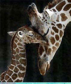 Mama and baby giraffe <3