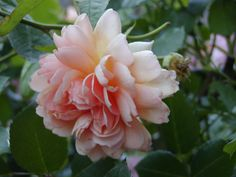 Apricot Queen