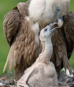 An adorable 1-month-old Eurasian griffon vulture is seen sitting next to its mother in their nest at a zoo in Duisburg, Germany.