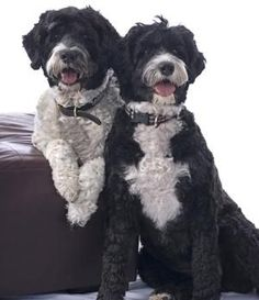 In spite of having thick wavy fur, Portuguese water dogs never shed, and hence act as great pets for people with allergies. Learn many more interesting facts about this amazing dog breed. Havanese Puppies, Spaniel Puppies, Pomeranian Dogs, Goldendoodles, Cute Dogs And Puppies, I Love Dogs, Doggies, Baby Dogs, Portuguese Water Dog Puppy