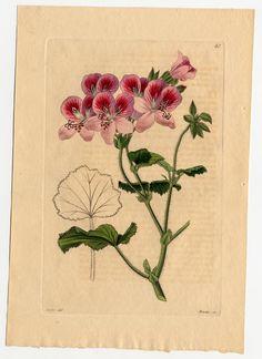 Pelargonium majale Tratt. Trattinnick, L., Neue Arten von Pelargonien, vol. 1: t. 41 (1826)