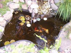 A neighbor's small pond with fish.