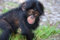Orphaned Chimpanzee Ruben Finds New Home, Surrogate Mother At Oklahoma City Zoo (PHOTOS)