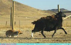 Corgi herding a sheep.