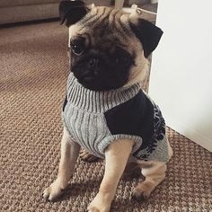 """I would wear two sweaters if I could."" Barking mad @ www.jointhepugs.com #PugPower #PugLife"