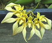 "Bulbophyllum anannandalei ""Flava"" - Copyright © Tropical Exotica. All Rights Reserved"