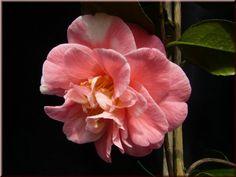 Camellia japonica 'Cidade de Vigo' (Portugal, 1985)