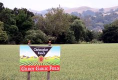 Gilroy, CA - Garlic field