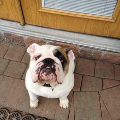 One hell of an English Bulldog