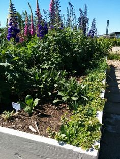 Herb garden and foxgloves in the station garden at the Nationaal Smalspoormuseum in Katwijk, The Netherlands.