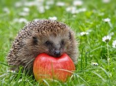 hedgehog cute - Google Search