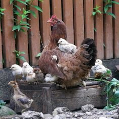 Chickens. Chicken Coops, Chicken Art, Chicken Breeds, Coqs, Hens And Chicks, Baby Chicks, Beautiful Chickens, Beautiful Birds, Country Life
