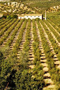 large tree olive farm
