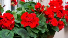 How To Keep Geraniums Blooming All Summer Long - Geranium Care 101 Container Gardening Vegetables, Succulents In Containers, Container Flowers, Container Plants, Vegetable Gardening, Growing Geraniums, Geraniums Garden, Hydrangea Garden, Red Geraniums