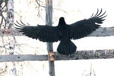 ...black wings