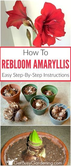 With the right care, amaryllis bulbs rebloom year after year! Getting an amaryllis to rebloom is easy. Here are the steps to rebloom your amaryllis bulbs. Amaryllis Care, Amaryllis Plant, Amaryllis Bulbs, Garden Bulbs, Planting Bulbs, Planting Flowers, Flower Gardening, Fruit Garden, Garden Plants
