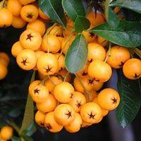 Vijver en Tuincentrum Pelckmans: Pyracantha 'Soleil d'or' Orange, Fruit, Bathroom, Washroom, Full Bath, Bath, Bathrooms