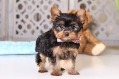 💖😊 Full of #Energy and adventurous spirit, #Yorkie pups love to be with you every minute of the day, whether it's playing or taking a nap in your lap. ▬▬▬▬▬▬▬▬▬▬▬▬▬▬▬▬▬▬▬ #Charming #PinterestPuppies #PuppiesOfPinterest #Puppy #Puppies #Pups #Pup #Funloving #Sweet #PuppyLove #Cute #Cuddly #Adorable #ForTheLoveOfADog #MansBestFriend #Animals #Dog #Pet #Pets #ChildrenFriendly #PuppyandChildren #ChildandPuppy #LancasterPuppies www.LancasterPuppies.com Yorkie Puppy For Sale, Puppies For Sale, Cute Puppies, Cute Dogs, Animals Dog, Cute Animals, Puppy Breath, Lancaster Puppies, Yorkshire Terrier Puppies