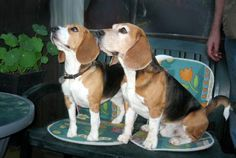 Sessen and Balder ~ Danish Beagles