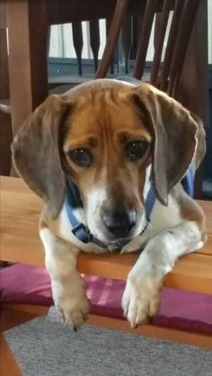 Check out Aggie's profile on AllPaws.com and help her get adopted! Aggie is an adorable Dog that needs a new home. https://www.allpaws.com/adopt-a-dog/beagle/4053188?social_ref=pinterest
