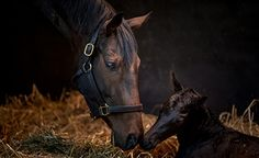 Star mare Treve delivers first foal by Dubawi  https://www.racingvalue.com/star-mare-treve-delivers-first-foal-by-dubawi/