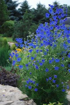 Delphinium grandiflorum 'Blue Butterfly'. Only 14'' tall, deep blue flowers with a hint of purple, tolerates heat better than regular delphinium, blooming through most of the summer. Zones 4-7.